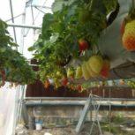 فروش گلخانه کشت توت فرنگی در استان البرز(کرج)
