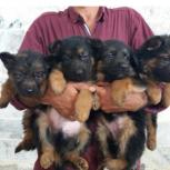 فروش توله سگ ژرمن شپرد