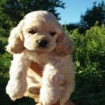 فروش ویژه توله سگ کوکر اسپانیل – فروش سگ شکاری
